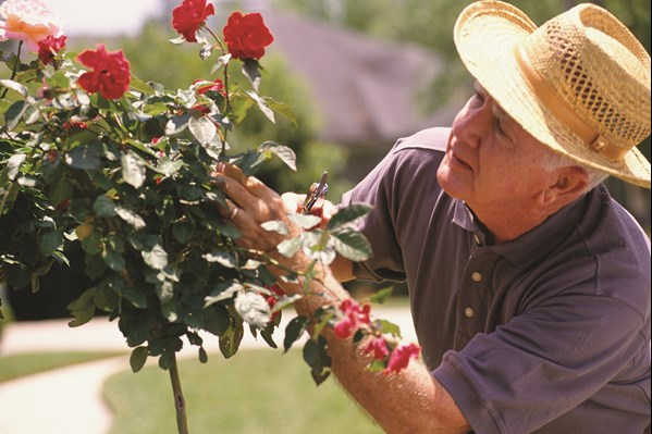 Elderly man looking at roses